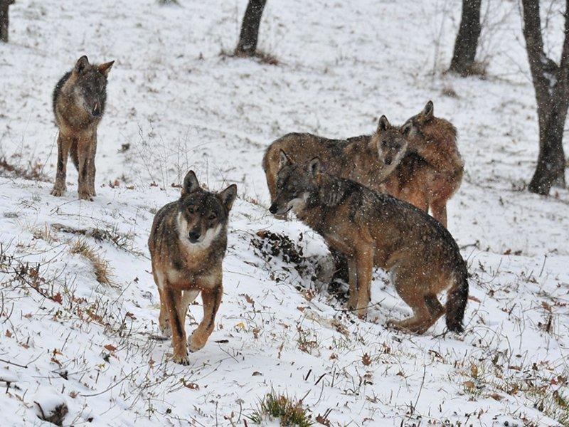 Sulle tracce del lupo, escursione nel Parco Nazionale d'Abruzzo Lazio e Molise